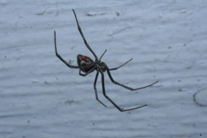 The extremely common black widow, Latrodectus hesperus
